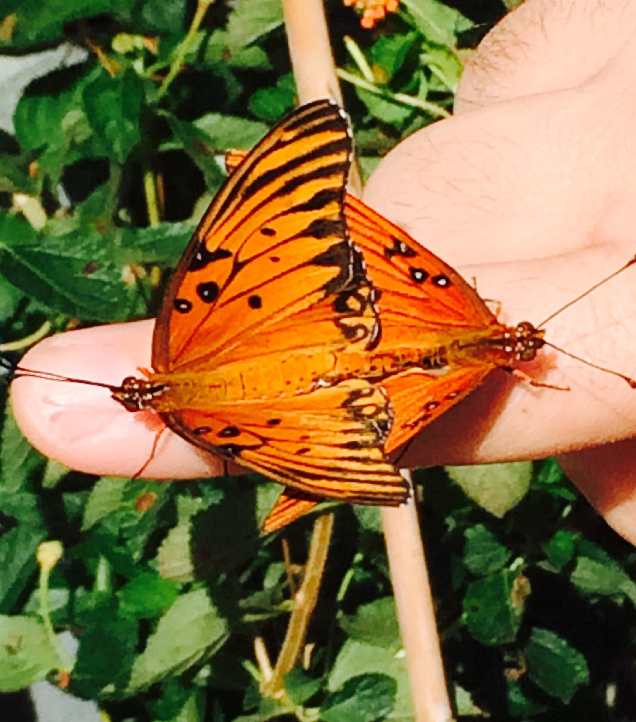 Merveilleux Johannau0027s Butterfly Blog